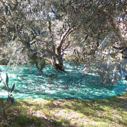 2016 Olive harvest in Kukljica, island Ugljan