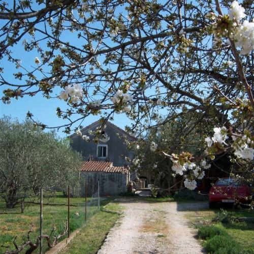cherry tree on driveway